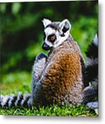 Young Lemur Metal Print