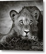 Young Lion Portrait Metal Print