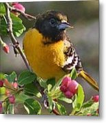 Young Male Oriole Metal Print