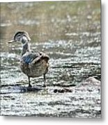 Young Male Wood Duck Metal Print
