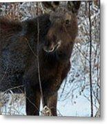 Young Moose 4 Metal Print