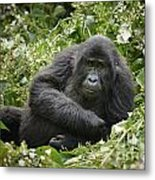 Young Mountain Gorilla Metal Print