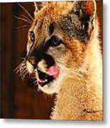 Young Mountain Lion Metal Print