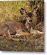 Young Mule Deer Metal Print