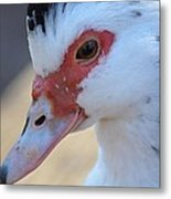 Young Muscovy Closeup Metal Print