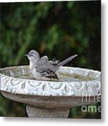 Young Northern Mockingbird In Bird Bath Metal Print