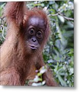 Young Orangutan Kiss Metal Print