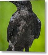 Young Raven Metal Print by Tim Grams