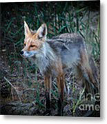 Young Red Fox Metal Print by Robert Bales