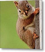 Young Red Squirrel Metal Print