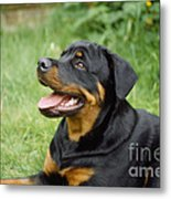 Young Rottweiler Metal Print