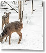 Young Spike Buck And Doe Whitetail Deer In Snowy Woods Metal Print