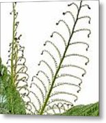 Young Spring Fronds Of Silver Tree Fern On White Metal Print