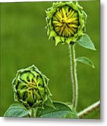 Young Sunflowers Metal Print