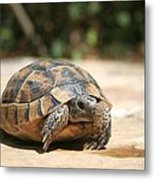 Young Tortoise Emerging From Its Shell Metal Print