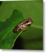 Young Tree Frog On Elephant Ear. Metal Print
