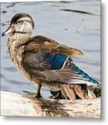 Young Wood Duck Metal Print