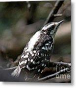 Young Woodpecker Metal Print