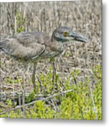 Young Yellow-crowned Night Heron Metal Print