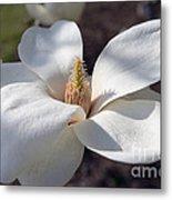 Yulan Magnolia  4591 Metal Print