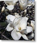 Yulan Magnolia  4753 Metal Print