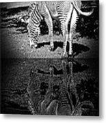 Zebra At The Waters Edge Metal Print