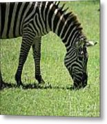 Zebra Eating Grass Metal Print