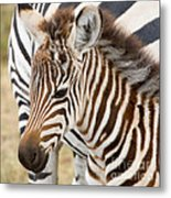 Zebra Foal Metal Print