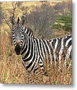 Zebra In Serengeti Metal Print