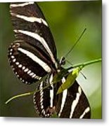 Zebra Longwing 3 Metal Print
