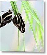 Zebra Longwing Butterflies Mating Metal Print