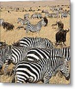 Zebra Migration Maasai Mara Kenya Metal Print