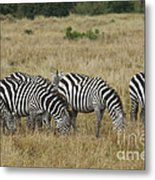 Zebra On Masai Mara Plains Metal Print