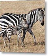 Zebra With Young Foal, Masai Mara Metal Print