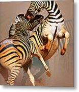 Zebras Fighting Metal Print