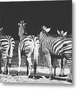 Zebras From Behind Metal Print