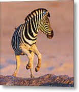 Zebras Jump From Waterhole Metal Print