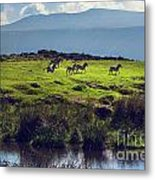 Zebras On Green Grassy Hill. Ngorongoro. Tanzania Metal Print