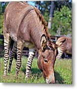 Zedonk Or Zebroid Metal Print