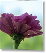 Zinnia Dream Metal Print