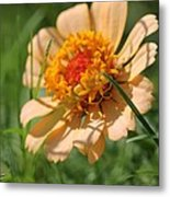 Zinnia From The Candy Mix Metal Print