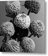 Zinnia Lilliput Flowers Metal Print