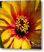 Zinnia Named Swizzle Scarlet And Yellow Metal Print