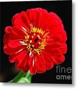 Zinnia Red Flower Floral Decor Macro Accented Edges Digital Art Metal Print