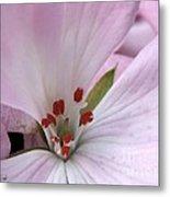 Zonal Geranium Named Tango Light Orchid Metal Print