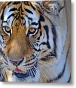 Zootography3 Tiger Prowl Close-up Metal Print