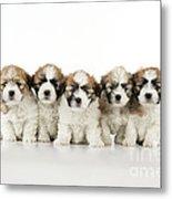 Zuchon Teddy Bear Puppy Dogs Metal Print
