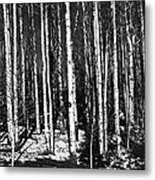 Aspen Tree Trunks Metal Print