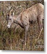 Bighorn Ewe Metal Print
