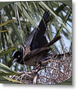 Boat-tailed Grackle - Quiscalus Major Metal Print
